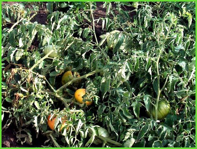 заболевания помидоров в теплице фото