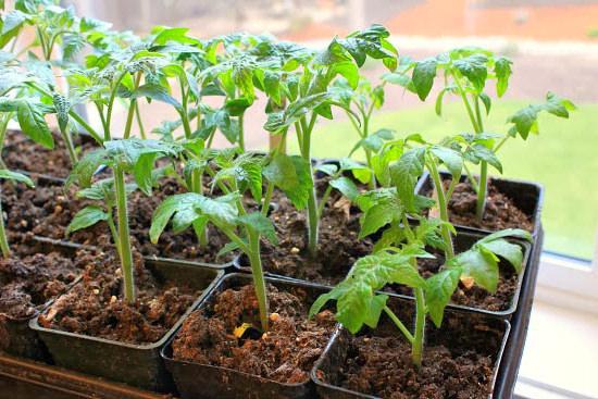 благоприятные дни для пикировки рассады томатов