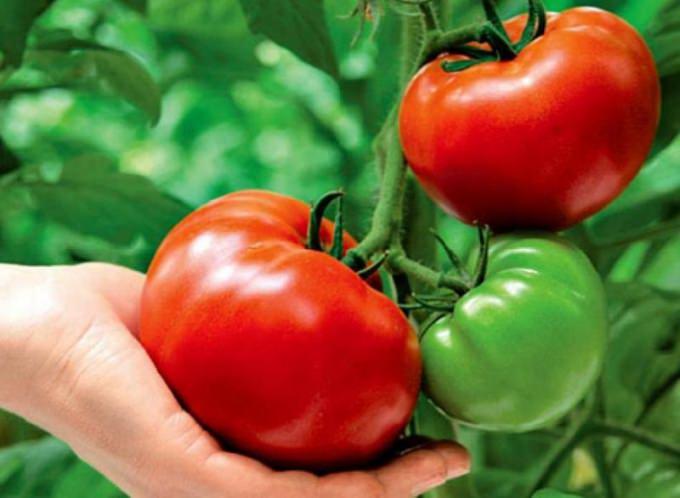 уродливые помидоры в теплице причина