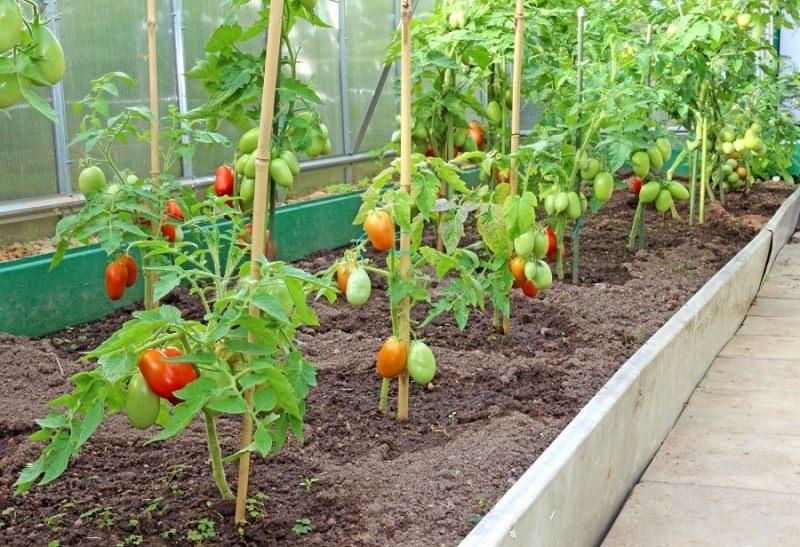какую землю любят помидоры в теплице