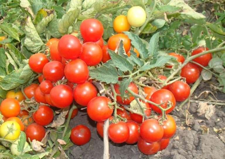 помидоры балконное чудо в теплице