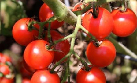 помидоры для теплиц низкорослые хорошие