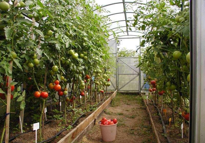 схема посадки высоких томатов в теплице