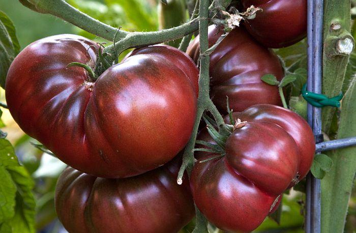 помидор раиса описание сорта фото отзывы