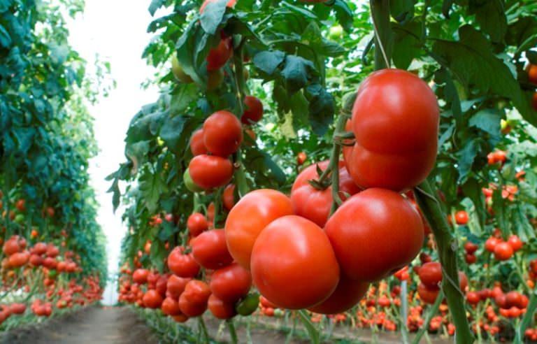 помидоры сорт махитос фото