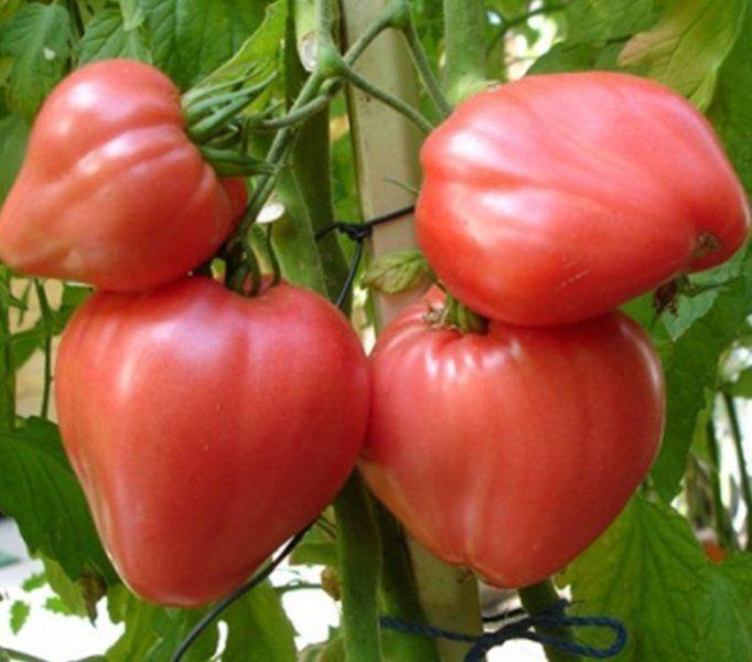 помидоры самурай описание сорта фото отзывы