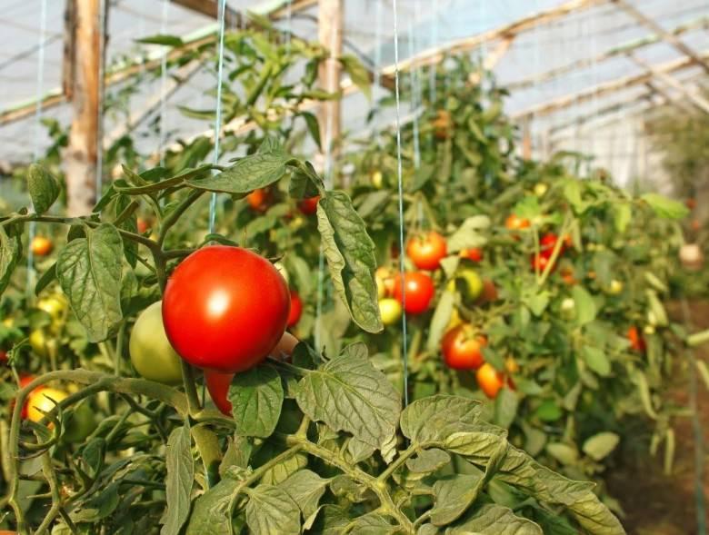 нужен ли йод для рассады помидор