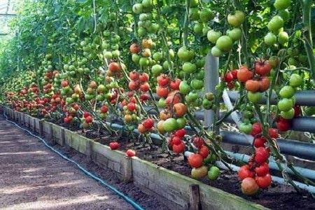 советы агронома по выращиванию томатов в теплице