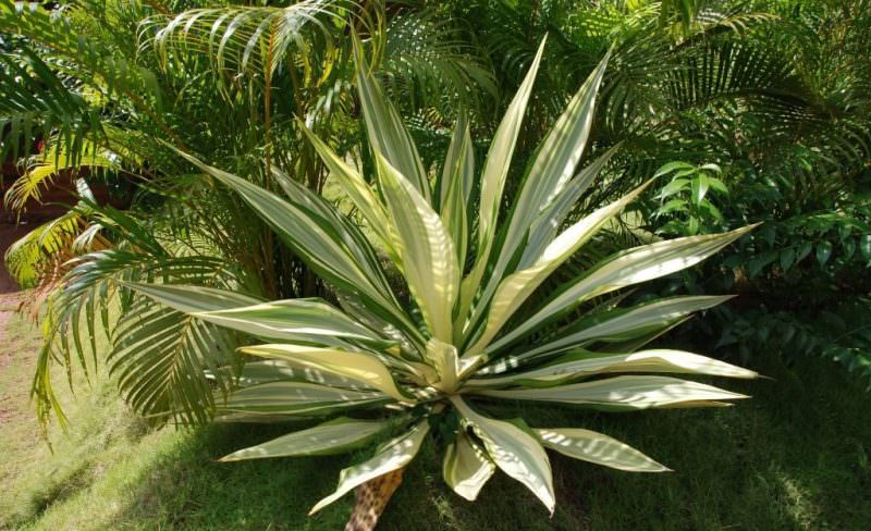 Растение агава американская: применение и свойства