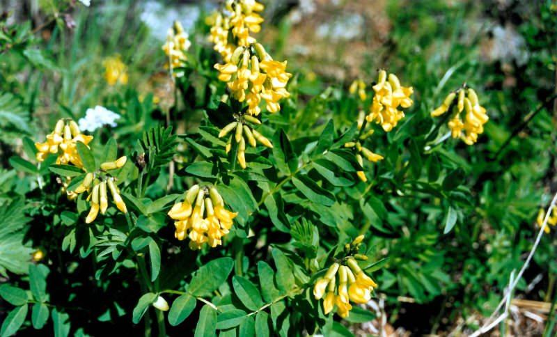 Растение долгожителей - астрагал перепончатый