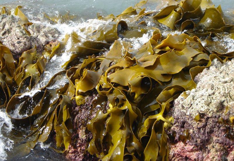 Польза и применение бурых водорослей