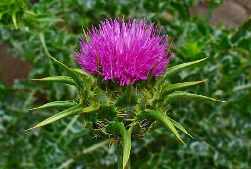 Чертополох: полезные свойства растения и возможные противопоказания