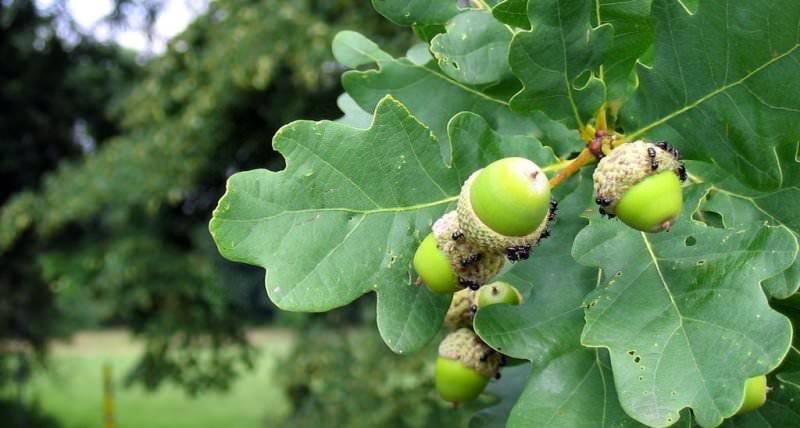 Чем отличается дуб обыкновенный?