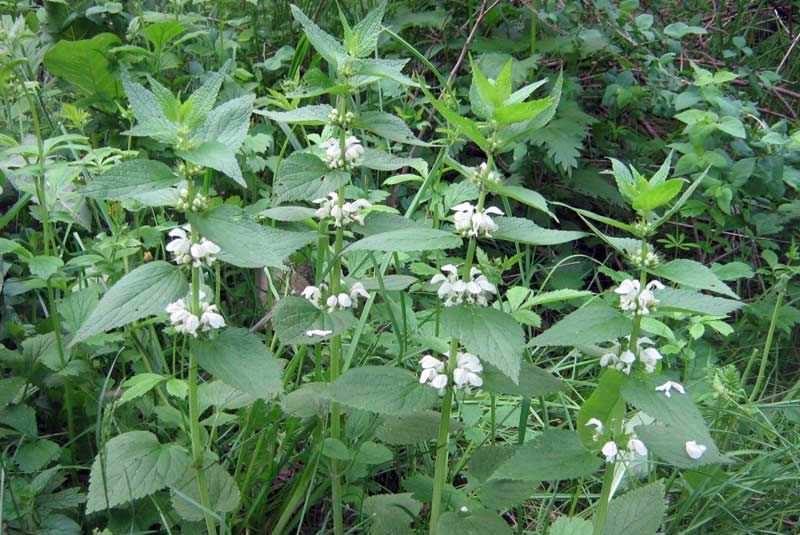 Лекарственная трава яснотка