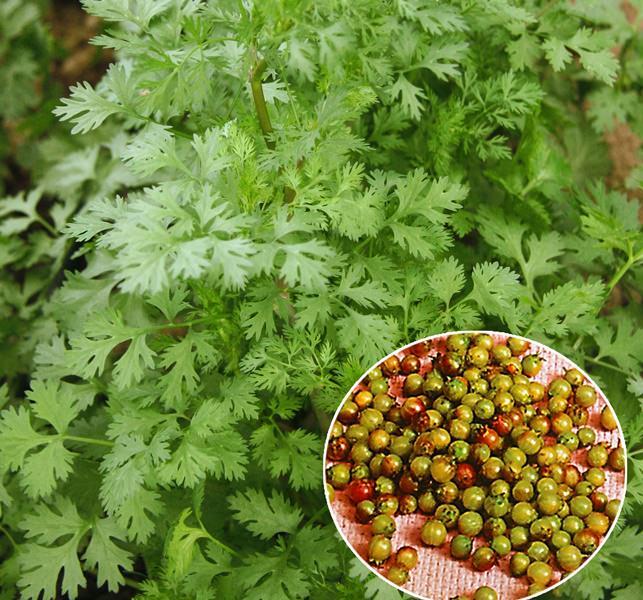 Свойства и применение кориандра (семена кинзы)