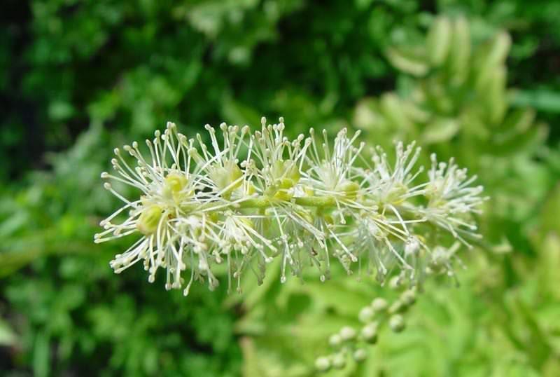 Травянистое растение клопогон кистевидный