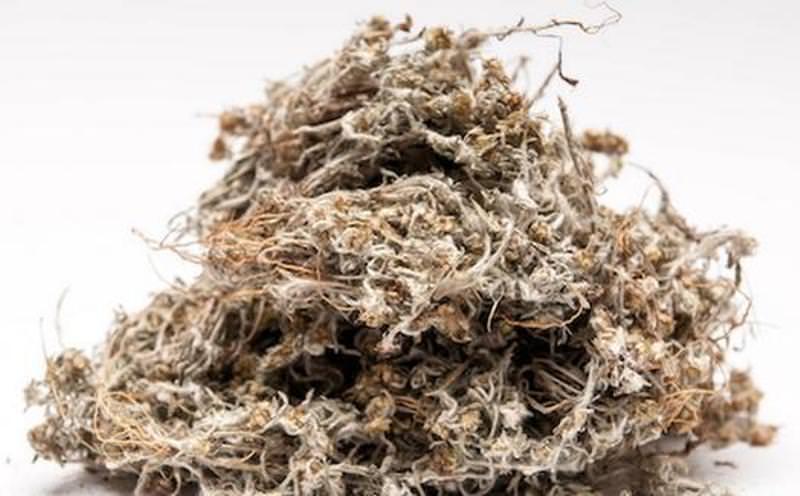 Свойства травы кошачья лапка: применение и противопоказания