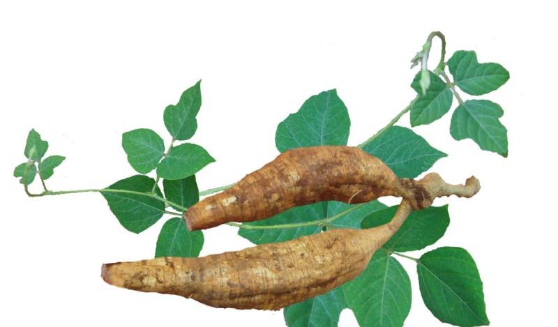 Растение кудзу