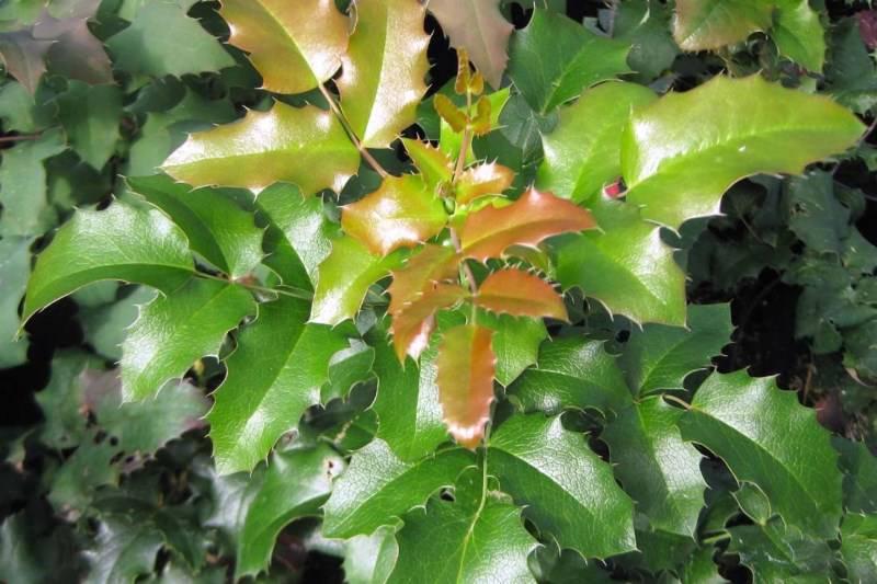 Выращивание и лечебные свойства магонии падуболистной