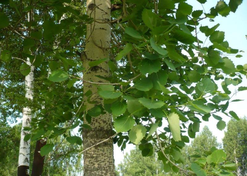 Как выглядит и растет осина