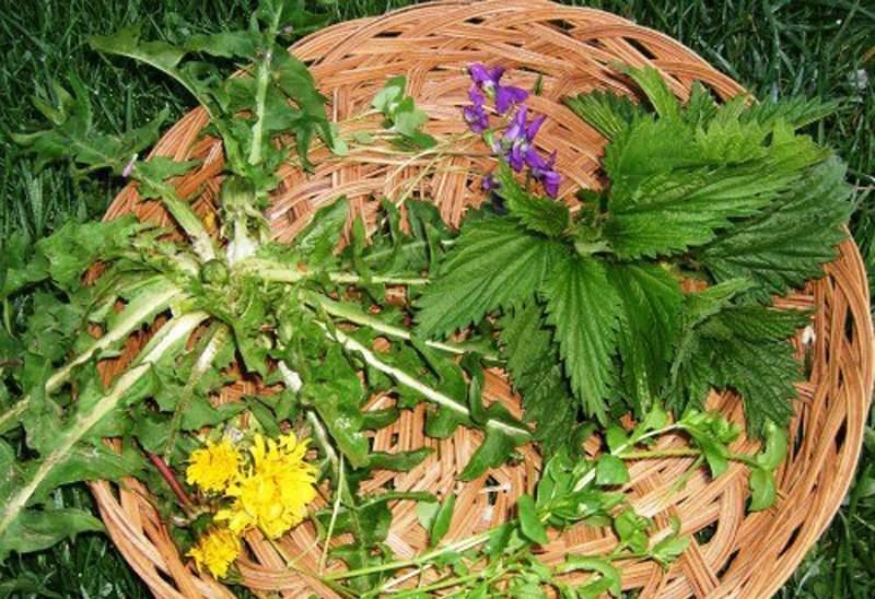 В чем польза осота огородного?