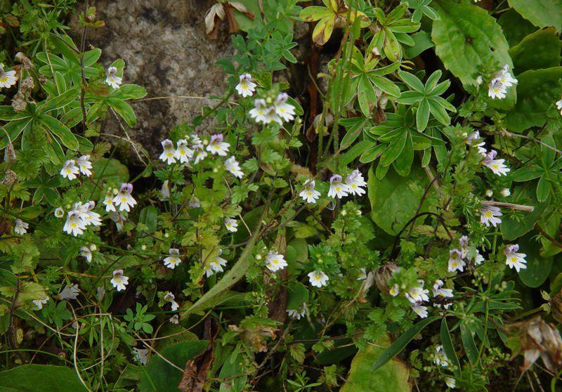 Трава очанка: лечебные свойства и противопоказания
