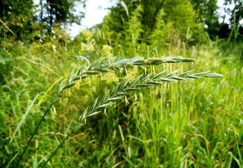 Трава пырей ползучий - сорняк или лекарство?
