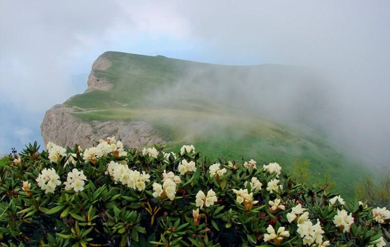 Растение рододендрон кавказский
