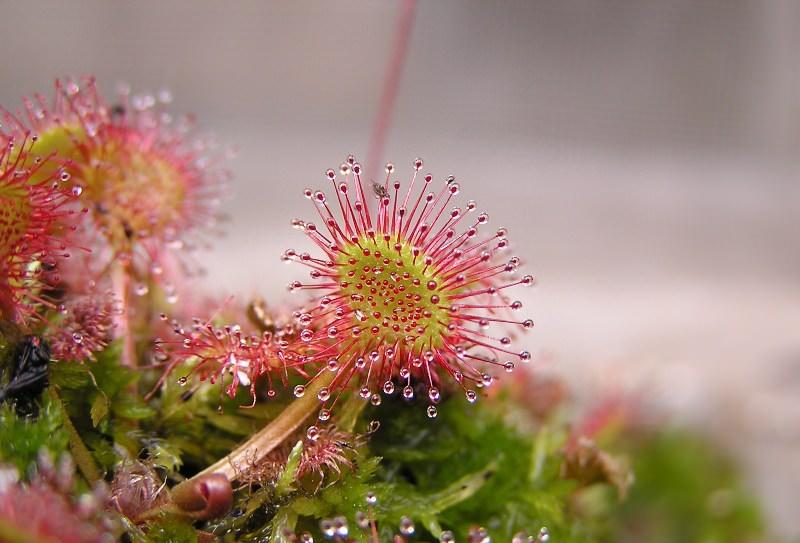 Трава росянка круглолистная: описание и свойства