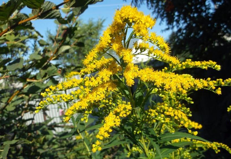 Золотая розга: основные лечебные свойства и противопоказания