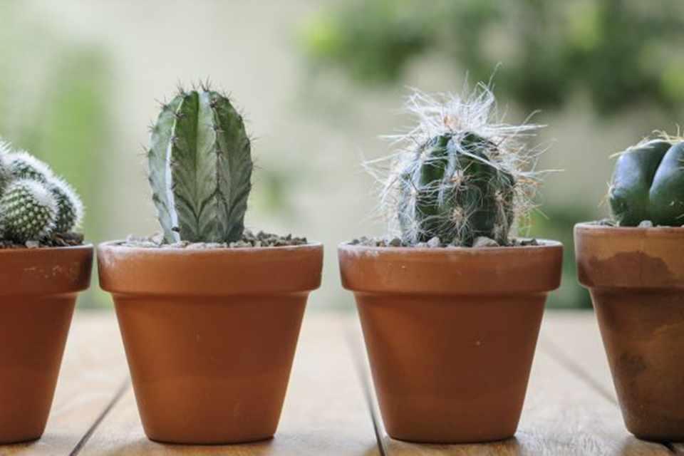 Как правильно выращивать кактусы