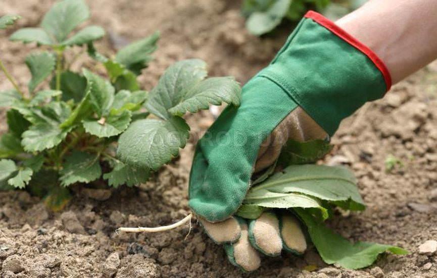 Причины плохого урожая клубники
