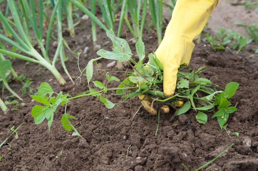 Могут ли сорняки приносить пользу?