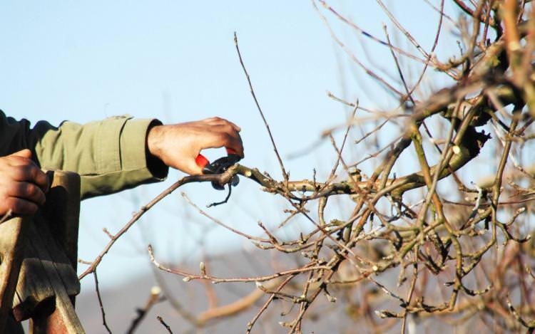 Как ухаживать за грушей осенью: подготовка дерева к зиме