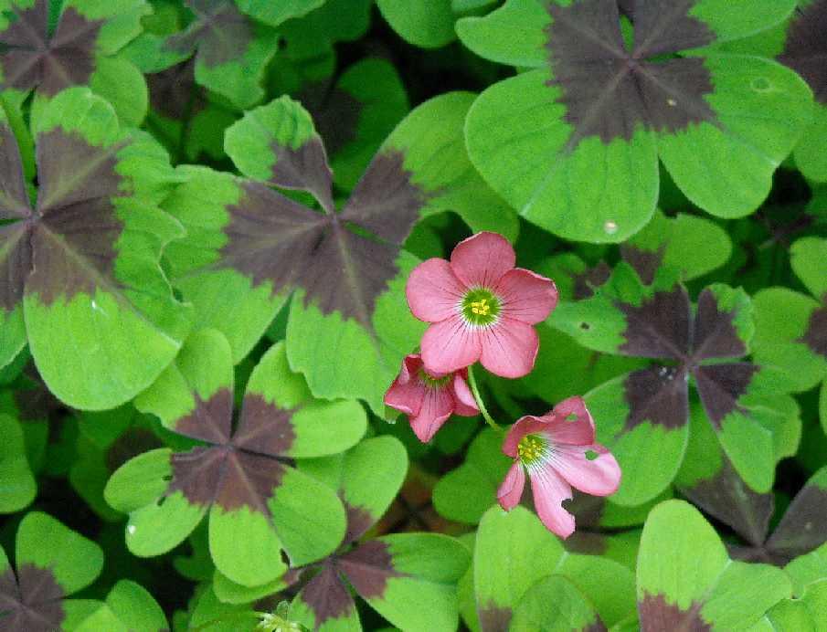 Оксалис (кислица садовая) или клевер счастья: виды и уход
