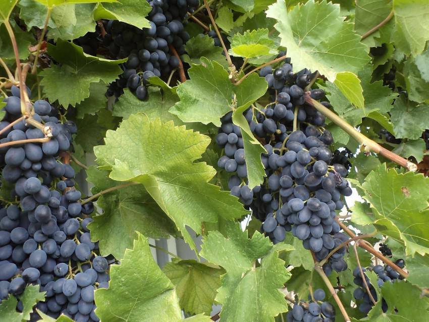 Виноградная лоза. Важность и польза винограда