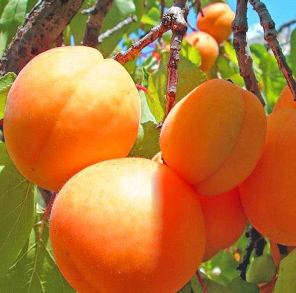 Выращивание сладких абрикосов в средней полосе России