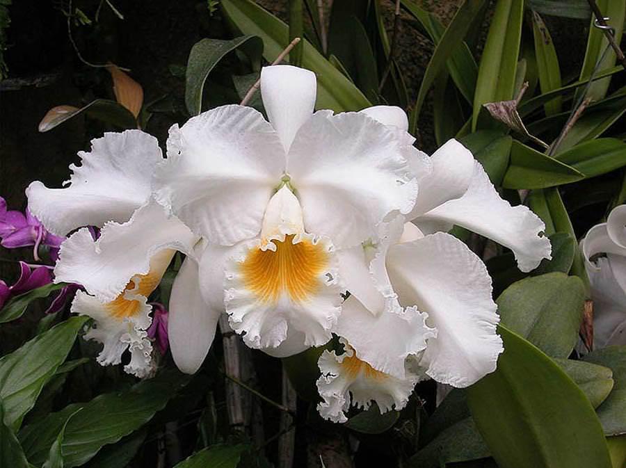 Орхидея каттлея: красота всегда в моде