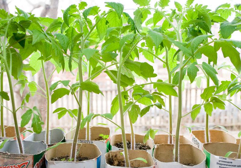 Пять рекомендаций, как вырастить отличную рассаду томатов