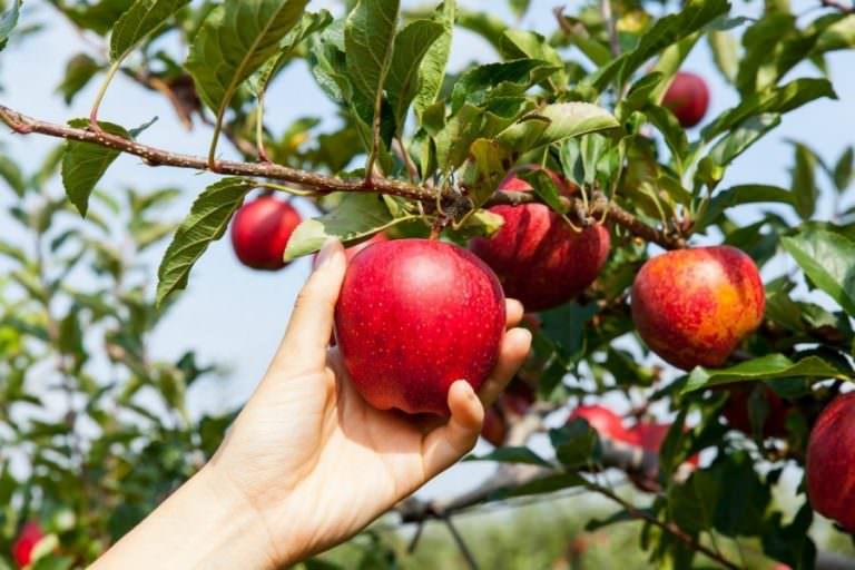Чтобы яблони плодоносили ежегодно