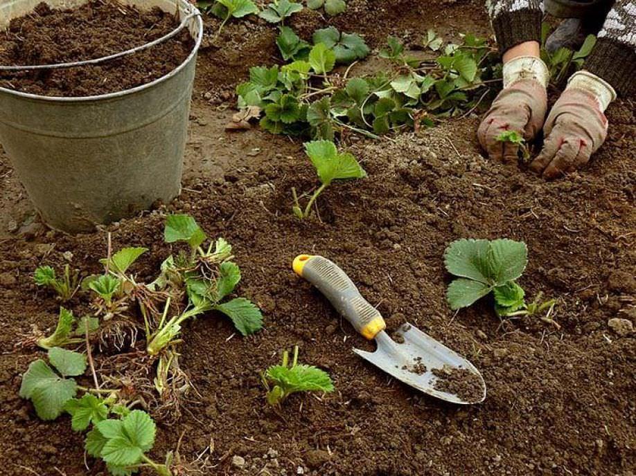 Как посадить клубнику осенью правильно