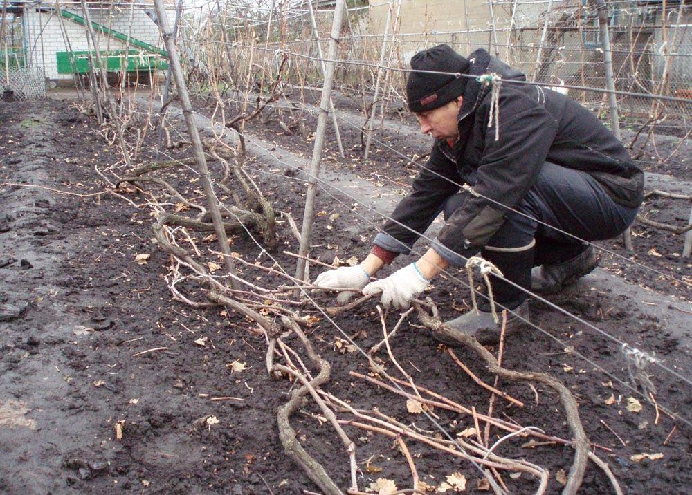 Забота о винограде в холода