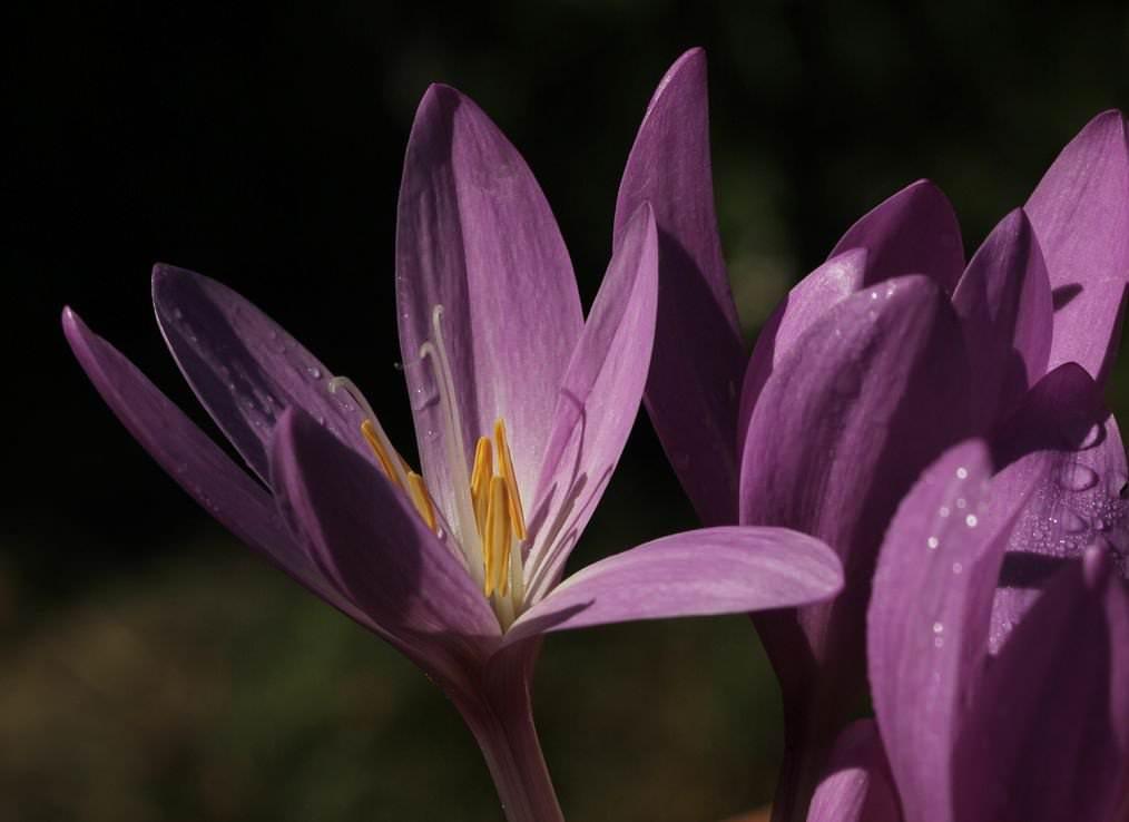 Цветок осени – вестник весны