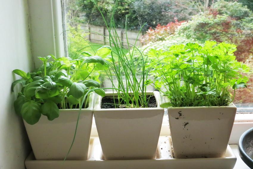 Выращивание свежей зелени на подоконнике