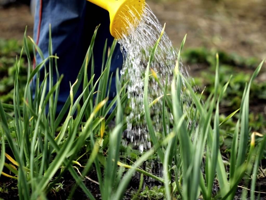 Чеснок: посев, уходи и сбор урожая