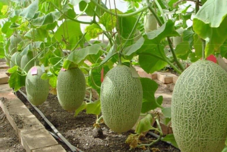 как правильно прорастить семена арбуза и дыни