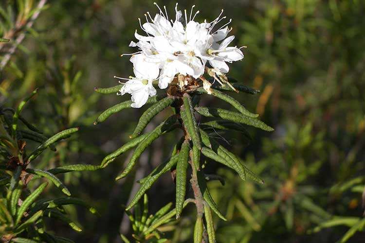 Багульник болотный – лечебные свойства и противопоказания, применение