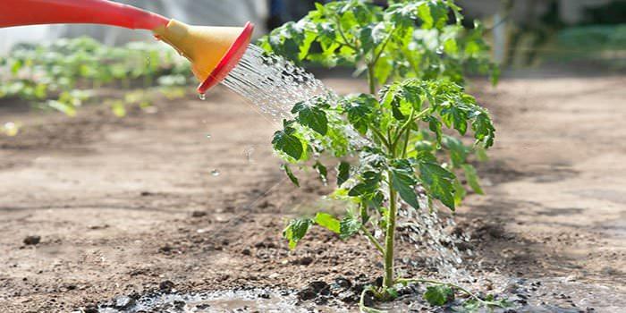 через сколько дней поливать рассаду
