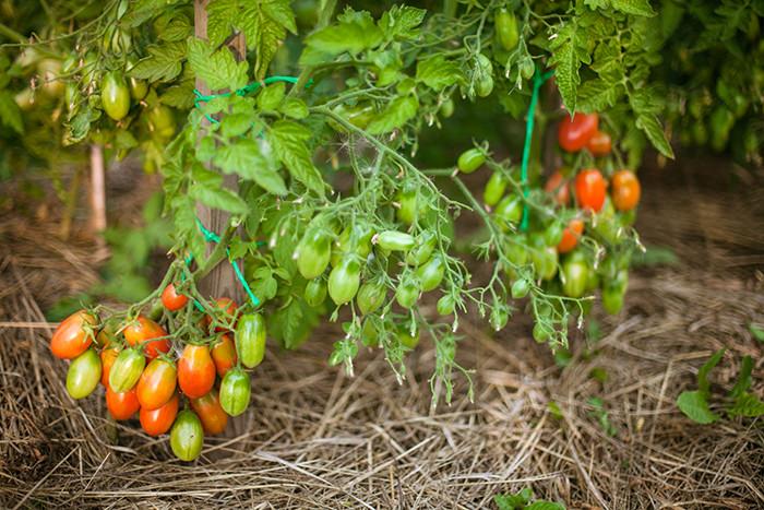 как формировать помидоры в теплице схема
