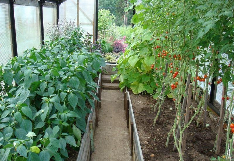 Можно садить в теплице помидоры с перцами